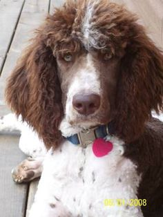 Beautiful Standard Poodle! ATTITUDE IS EVERYTHING AND THIS DOGGY IS SAYIN' WHAT THE HELL DO YOU WANT NOW?