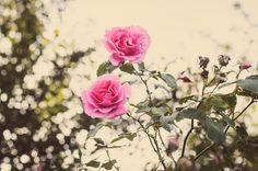 Carefree Beauty 1 | Hedgerow Rose a Buck and Earth Kind Rose