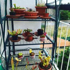 #carnivorousplant #carnivorous #carnivorousjungle #carnivorousplantsofinstagram #carnivorousplantswag #carnivorousplants by m4tty9