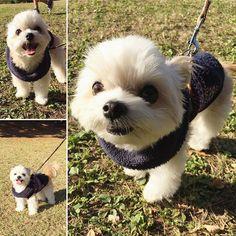 #チワマル#マーキー#マルチーズ#チワワ#犬#癒し#ミックス犬#ちわまる#ペット#公園散歩#dog#dogs#dogstagram#Maltese#pet#Chihuahua#instadog #cute  2016.11.5  今日は秋晴れ☀️ マーキーと車で大きな公園まで… 沢山のワンチャンがお散歩してたよ 芝生はやっぱり気持ち良いね〜