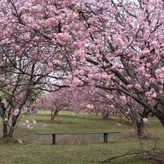 Notícia florida pra BeloHorizonte: vamos ganhar um bosque de cerejeiras e ipês para comemorar a amizade da cidade com o Japão. 120 mudas de cada serão plantadas pela Fundação Zoo-Botânica de BH no Memorial da Imigração Japonesa, que fica no Parque Ecológico da Pampulha. A flor da cerejeira no Japão é vista como uma metáfora da vida, por sua beleza, brilho e efemeridade.