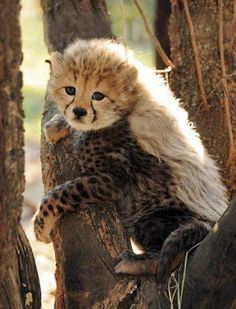 This little Cheetah has quite the mohawk going on!!! Lol.