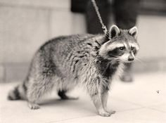 Raccoon - taken between 1913 and 1917 by Harris & Ewing