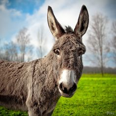 The return of the little grey donkey