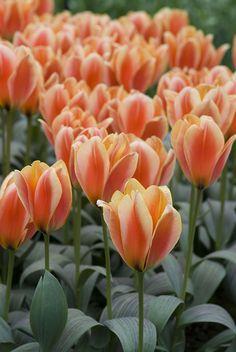Orange Dutch Tulips in Lisse, South Holland_ Netherlands