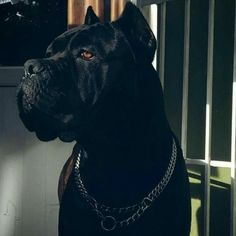 Dogs And Puppies Breeds Cane Corso Animals 22 Ideas Check out a some of our amazing Featured Cane Corso Breeds we Love! Cane Corso Italian Mastiff, Cane Corso Mastiff, Cane Corso Puppies, Mastiff Dogs, Big Dogs, Cute Dogs, Dogs And Puppies, Doggies, King Corso Dog