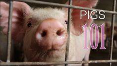 SHORT: Pigs 101 Starting A Farm, Pig Farming, Pigs, Homemaking, Homesteading, Grid, Money, Animals, Animales