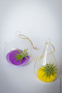Colored sand in purple and yellow for air plant terrariums
