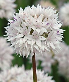 Graceful alium; ordered from Brent and Becky's