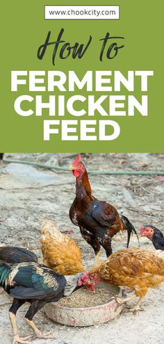Chicken feed should meet all the nutritional requirements of your flock. If you are confused about what to feed chickens, then this guide will answer all your questions about healthy and complete chicken feed What To Feed Chickens, Raising Backyard Chickens, Keeping Chickens, Chicken Facts, Chicken Life, Organic Chicken Feed, Chicken Eating, Chicken Treats, Healty Dinner