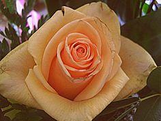 Addicted to rose