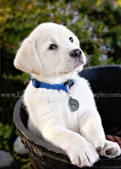 Labrador Retriever Puppy www.elegantreflectionsphotography.com