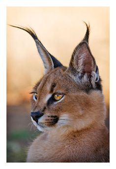 Portrait of a young caracal in a farm in Namibia, July 2008 by Ignacio Palacios…