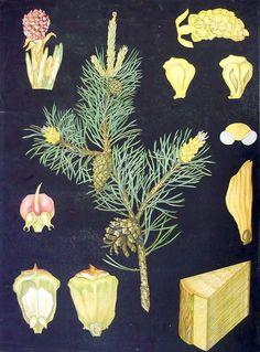 Mänty - Ebba Masalin Otavan kirjapaino 1912