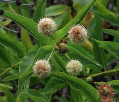 Cephalanthus occidentalis—buttonwillow. Regional Parks Botanic Garden Picture of the Day. 5 Sep 2016