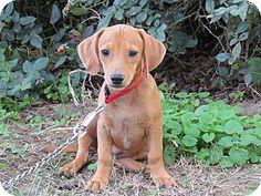 Bedminster, NJ - Dachshund Mix. Meet TEENSY, a puppy for adoption. http://www.adoptapet.com/pet/11662678-bedminster-new-jersey-dachshund-mix