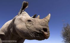 Beautiful videos of Black Rhinos at night.
