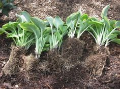 Dividing Hostas: Great tips for dividing (and multiplying) hostas. I did this today :)
