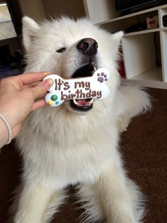 THIS PERFECT BIRTHDAY GENTLEMAN. | 27 Samoyeds For Anyone Who Needs A Little Fluff