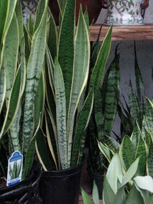 Top 12 best indoor plants for purifying the air