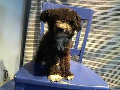 RESCUED❤️ ~ Animal ID #A4866304 ‒ I am a Male, Black Miniature Poodle mix. The shelter thinks I am about 1 year and 5 months old. I have been at the shelter since August 13, 2015. L.A. County Animal Care & Control: Baldwin Park Telephone ‒ (626) 962-3577 4275 North Elton Street Baldwin Park, CA https://www.facebook.com/OPCA.Shelter.Network.Alliance/photos/pb.481296865284684.-2207520000.1440067441./867506673330366/?type=3&theater