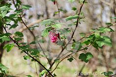With its dull scalloped aromatic leaves and its hanging clusters of purple-pink flowers