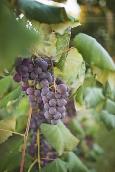 365 Images of 2016 » Grace Cameron Photography. Michigan Grapes!