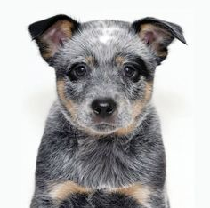 From Australian working dog rescue. Aussie Cattle Dog, Austrailian Cattle Dog, Aussie Dogs, Dog Rules, Working Dogs, Rescue Dogs, Dog Pictures, Best Dogs, Cute Dogs