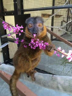 Fresh flowers are in bloom so this female collared lemur is happily gorging on some red bud! Photo by Brittney Blackwell Zoo Keeper, Lemurs, Welcome To The Jungle, When I Grow Up, Primates, Zoo Animals, Durham, Exotic Pets, Madagascar