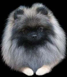 Pomeranians from Showin Poms Wolf Sable Pomeranian, Pomeranian Puppy, Pomeranians, Mermaid Blanket, Cute Animal Pictures, Happy Dogs, Large Dogs, Cute Baby Animals, Dog Grooming