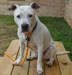 Bubba is an adoptable Pit Bull Terrier searching for a forever family near Georgetown, TX. ** Bubba is a sweet dog who was running around lost on a hot day. A nice person rescued him but was unable to keep him. He's cute and friendly and his wounds will soon be healed.