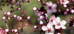 Slider-Sergeant-Crab-Apple-Blossoms.jpg (960×447)