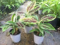 2 Musa Dwarf Cavendish Banana Trees In One Gallon Pots Patio