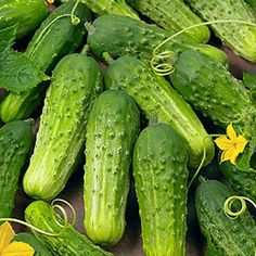 Heirloom cucumbers ,Boston Pickling cucumber,resistance to cucumber mosaic virus and cucumber scale.
