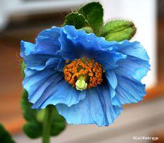 Fresh Flowers, Blue Flowers, Flower Prints, Flower Art, Tuscan Garden, Blue Poppy, Blue Aesthetic, Amazing Flowers, Hibiscus