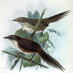 7717. Chatham Islands Fernbird (Megalurus rufescens) | Chatham Islands