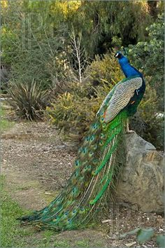 Google Image Result for http://www.featurepics.com/FI/Thumb300/20090408/Peacock-Male-Bird-Posing-1146092.jpg