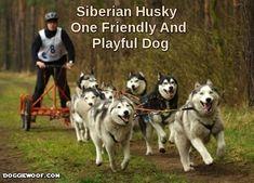 Siberian Husky – One Friendly And Playful Dog http://doggiewoof.com/siberian-husky-one-friendly-playful-dog/ #siberianhusky