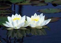 94 Mejores Imágenes De Flor Del Loto Lotus Flower Beautiful