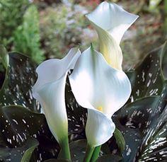 White mini calla lilies - min order 80 = $1.99/stem