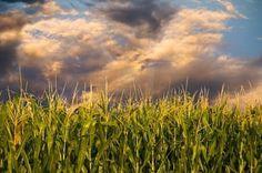 Is it corn season yet!?!?