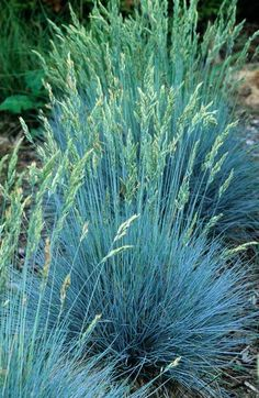 Festuca 'Blue Fox' - love this color in the garden looks great with the bright yellow greens