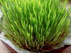 Weizengras for Ostergras :o)