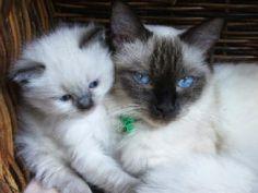 Rag doll cat!  Floppy little kitty!!  Meow!