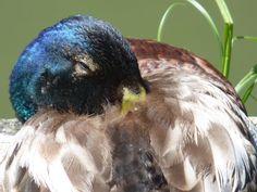 Duck (close up). by henri.van.den.abeele