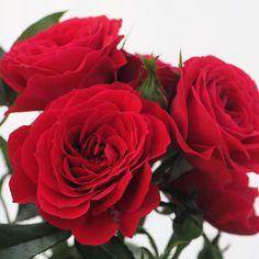 Rosa 'Roxy Kordana'. Ruusu