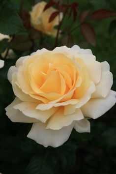 ~Rose 'Winter Sun'