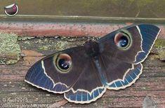 "Polubienia: 1,830, komentarze: 11 – #igclub_butterfly (@igclub_butterfly) na Instagramie: ""☆¤☆December 24 , 2017 We are very Happy to Present the Beautiful Moth of the day . ID: Erebus…"""