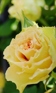 yellow rose....