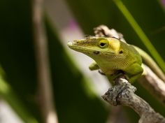 A green anole catches rays of sun on a bougainvillea plant just off of Bay Street in Marsh Harbour, Great Abaco.